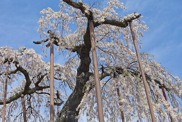 神田の大イトザクラ(大糸桜)