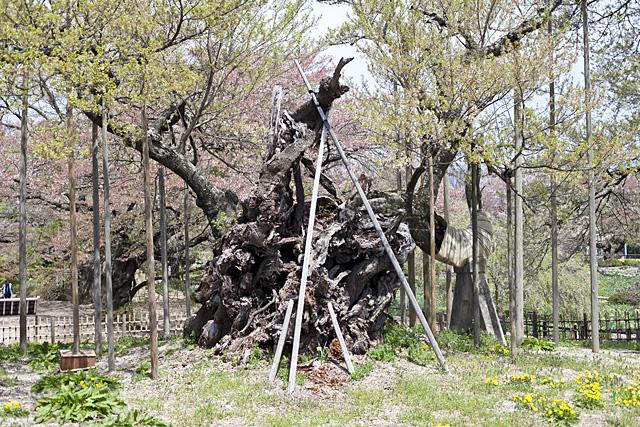 樹齢2000年 実相寺の山高神代桜