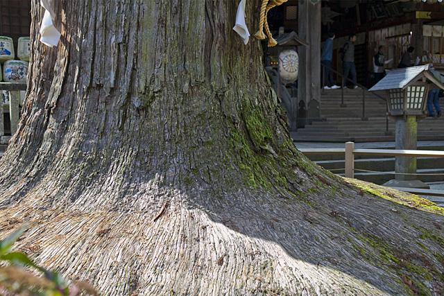 北口本宮冨士浅間神社の神木(山梨県天然記念物)
