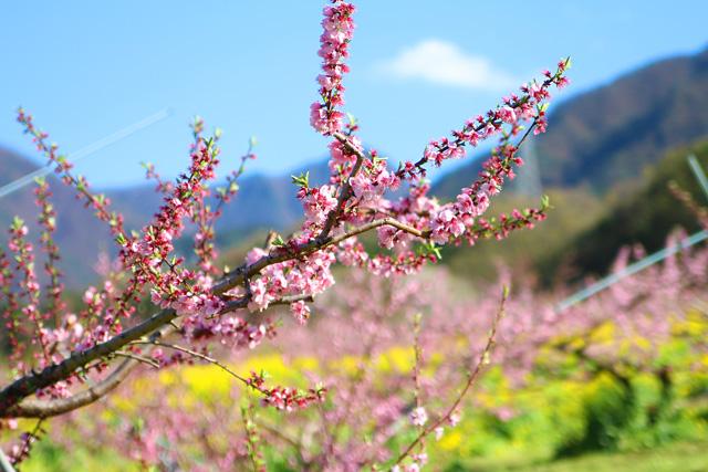 桃源郷春まつり(御坂桃の花まつり)