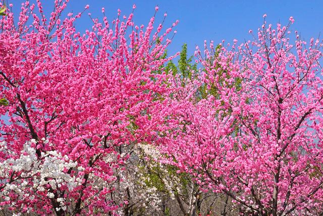 日本一の桃の里金桜園