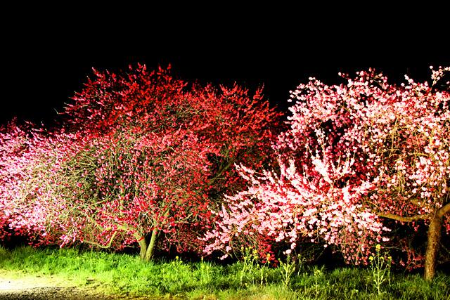 日本一の桃の里金桜園(ライトアップ)